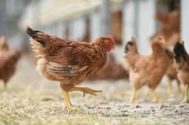 Vigilance Grippe aviaire